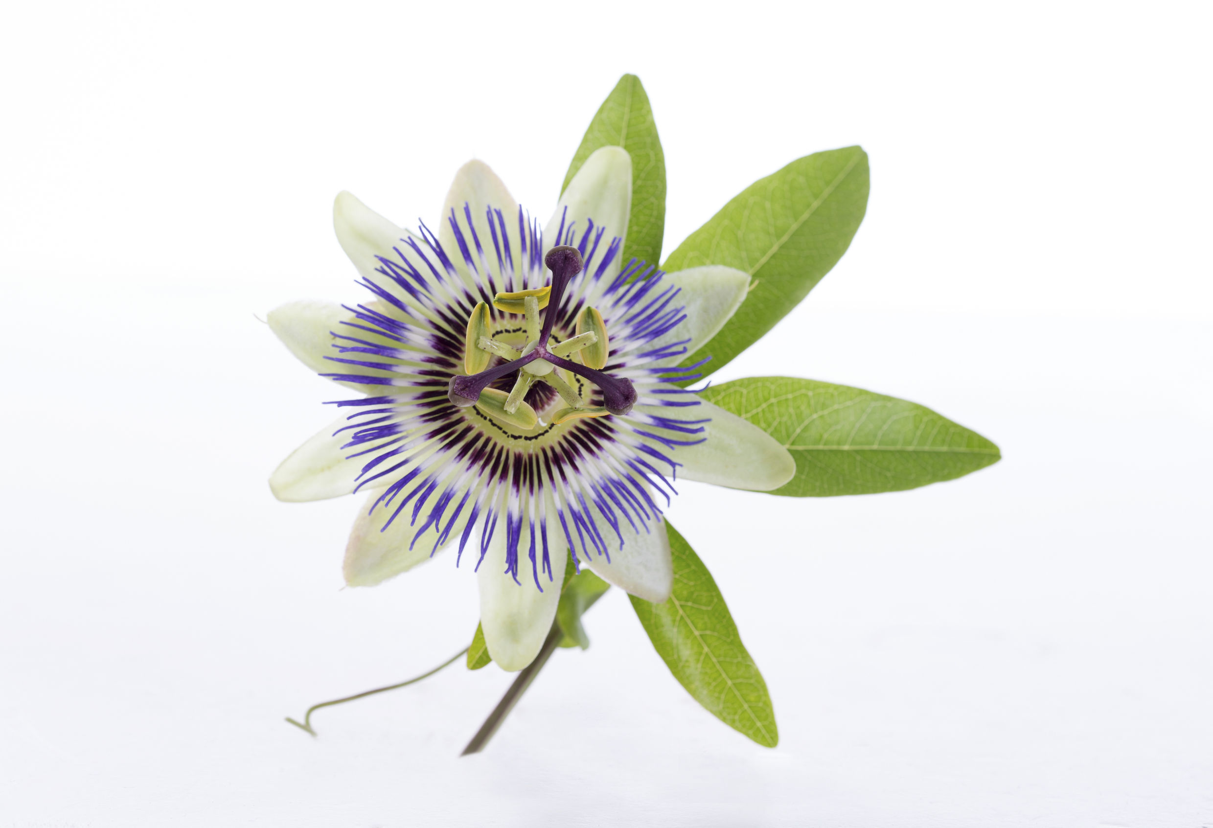 Passion flower mother tincture